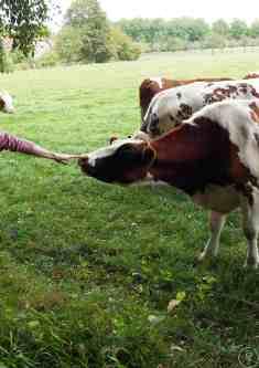 vache touche main t